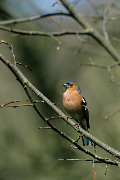 Finch Photograph - Male Chaffinch by Leslie J Borg/science Photo Library