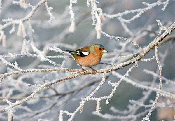 Wall Art - Photograph - Male Chaffinch Perched On A Branch by John Devries/science Photo Library