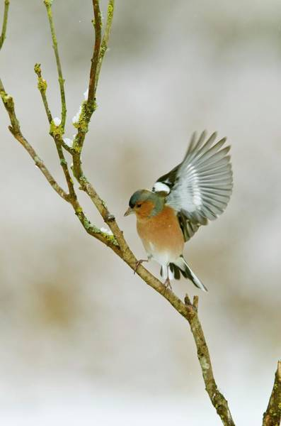 Wall Art - Photograph - Male Chaffinch Taking Off by John Devries/science Photo Library