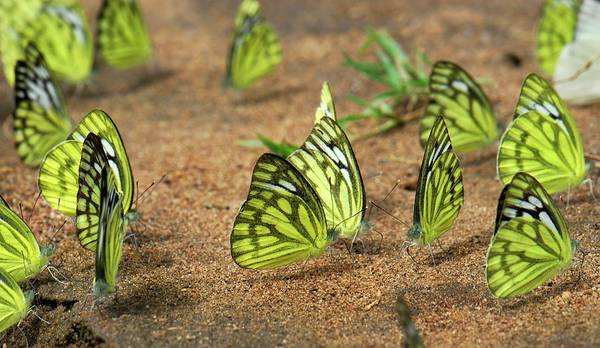 Cepora Photograph - Male Common Gull Butterflies by K Jayaram/science Photo Library