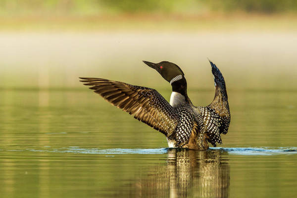Loon Photograph - Male Common Loon Drying His Wings by Chuck Haney