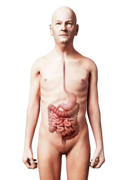 Esophagus Wall Art - Photograph - Male Digestive System by Sebastian Kaulitzki