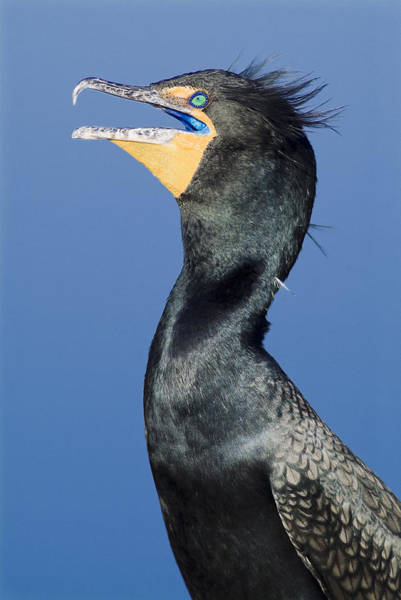 Photograph - Male Double Crested Cormorant by Patrick M Lynch