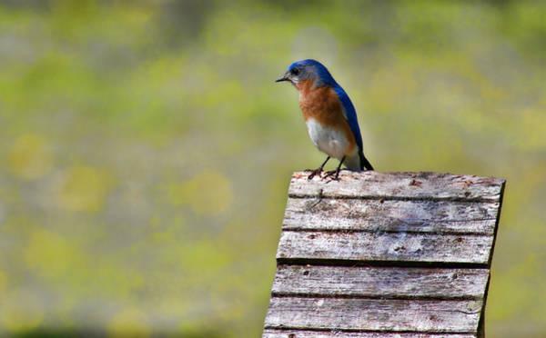 Wildbird Photograph - Male Eastern Bluebird by Lana Trussell