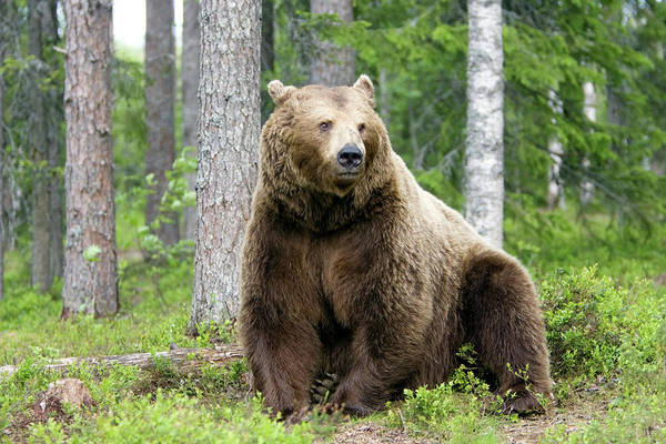 Finnish Photograph - Male European Brown Bear by John Devries/science Photo Library