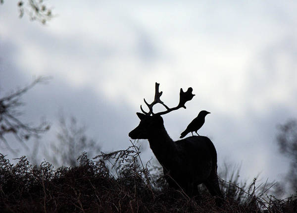 Dama Dama Photograph - Male Fallow Deer by Duncan Shaw/science Photo Library