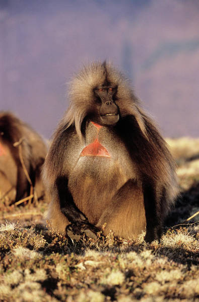 Baboons Photograph - Male Gelada Baboon by Tony Camacho/science Photo Library
