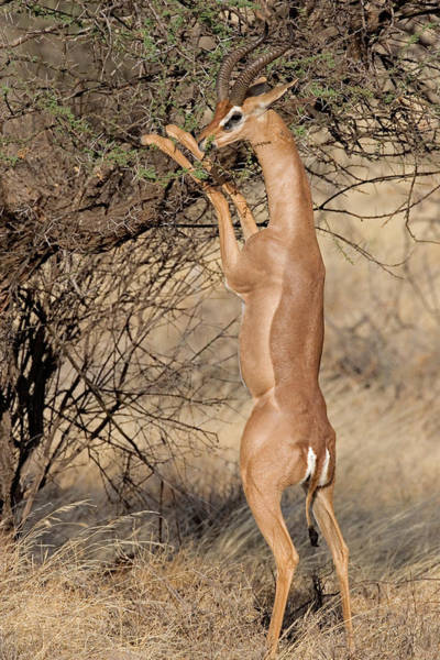 Herbivorous Photograph - Male Gerenuk Litocranius Waller Eating by Panoramic Images