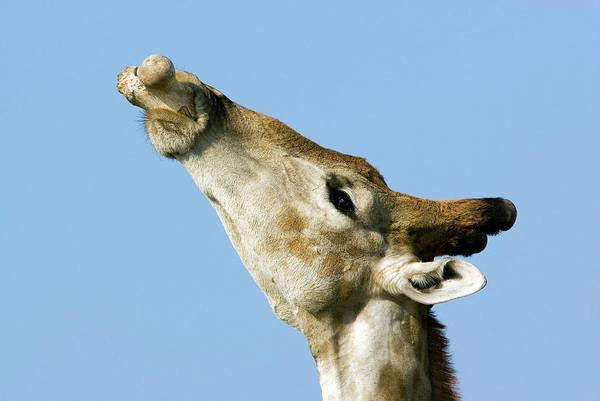 Wall Art - Photograph - Male Giraffe Chewing On A Bone by Tony Camacho/science Photo Library