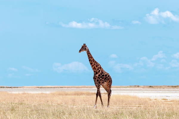 Savannah Photograph - Male Giraffe In Etosha by Peter Vruggink