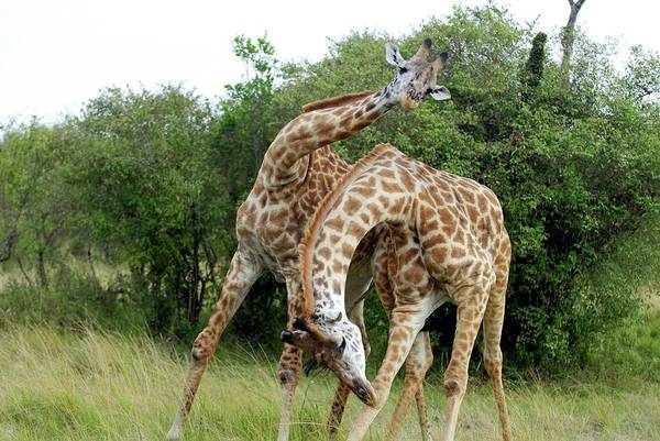 Wall Art - Photograph - Male Giraffes Fighting by Dr P. Marazzi/science Photo Library