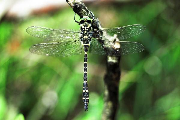 Odonata Photograph - Male Golden-ringed Dragonfly by Colin Varndell