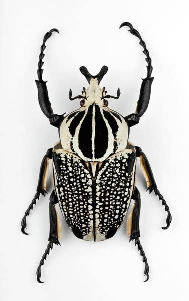 Goliath Photograph - Male Goliath Beetle by Pascal Goetgheluck/science Photo Library