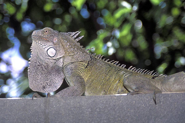 Iguana Photograph - Male Green Iguana by Clay Coleman/science Photo Library