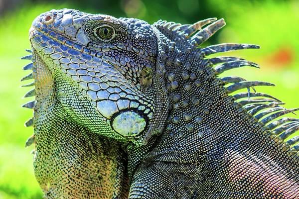 Wall Art - Photograph - Male Green Iguana Iguana Iguana by Photostock-israel/science Photo Library