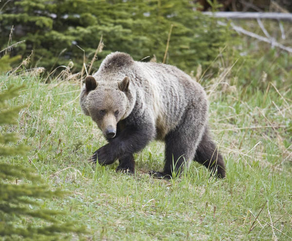 Wall Art - Photograph - Male Grizzly In Kananaskis by Richard Berry