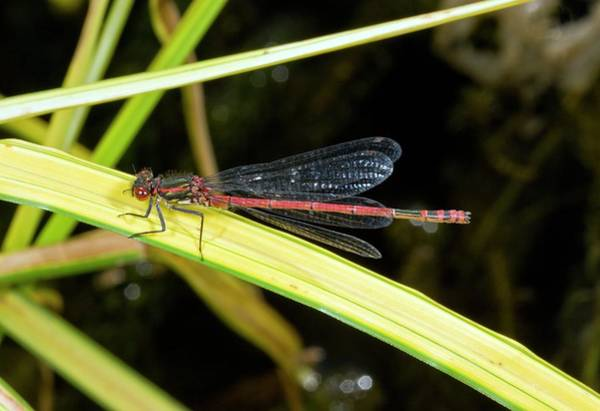 Odonata Photograph - Male Large Red Damselfly by Bob Gibbons