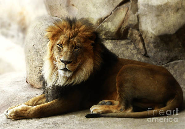 Male Lion At Rest Art Print