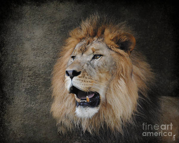 Photograph - Male Lion II by Jai Johnson