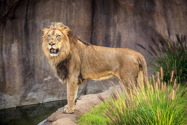 Photograph - Male Lion by Keith Allen