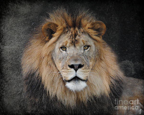 Photograph - Male Lion Portrait by Jai Johnson