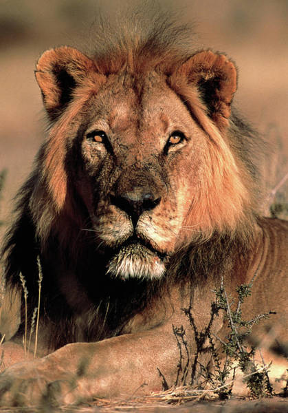 Felidae Wall Art - Photograph - Male Lion by Tony Camacho/science Photo Library