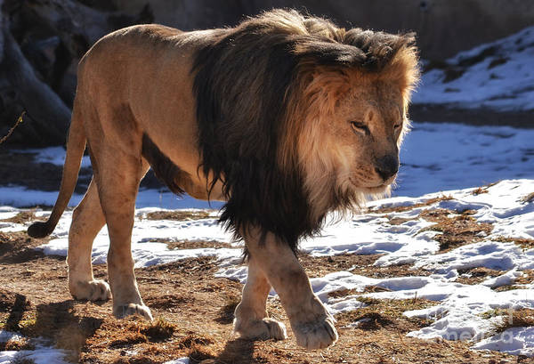 Photograph - Male Lion Walking by Elle Arden Walby
