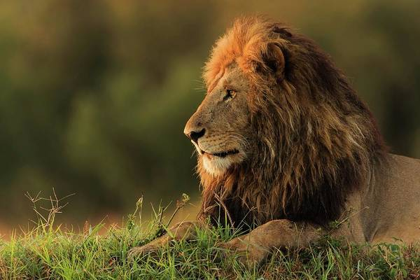 Mane Wall Art - Photograph - Male Lion Watching Sunrise In Masai Mara by Massimo Mei