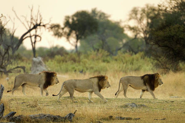 Urban Wildlife Photograph - Male Lions At Dawn, Moremi Game by WorldFoto