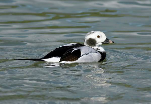 Anatidae Wall Art - Photograph - Male Long-tailed Duck by John Devries/science Photo Library