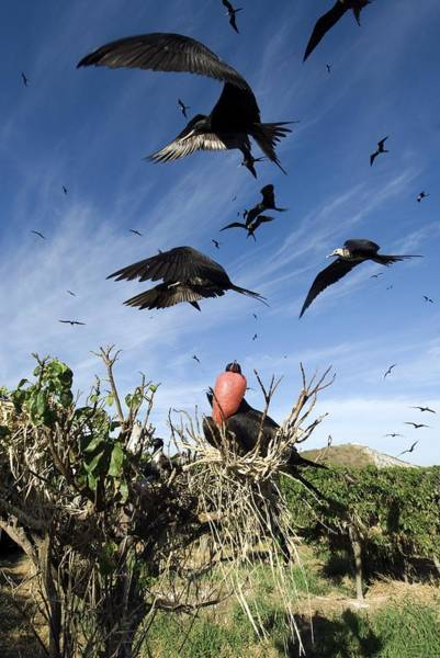 Courtship Display Photograph - Male Magnificant Frigatebird Displaying by Christopher Swann