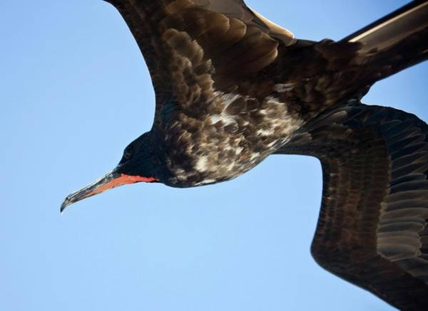 Magnificent Photograph - Male Magnificent Frigatebird by Steve Allen/science Photo Library