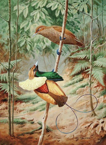 Wall Art - Photograph - Male Magnificient Bird Of Paradise by Walter A. Weber