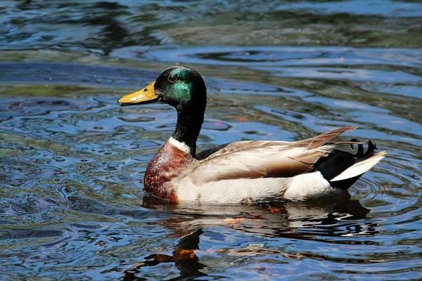 Photograph - Male Mallard Duck by Cynthia Guinn
