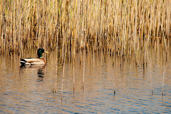 Photograph - Male Mallard by Kristia Adams