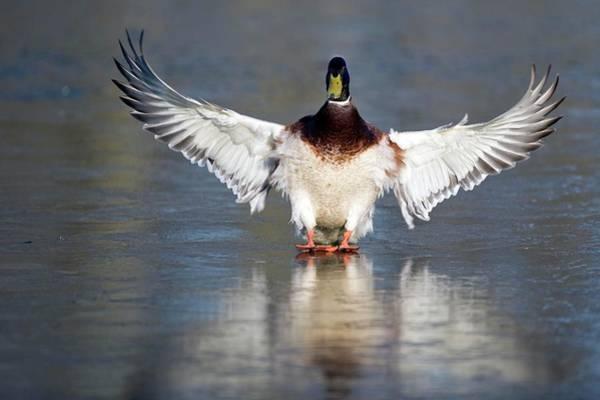 Anas Photograph - Male Mallard Landing On Water by Bildagentur-online/mcphoto-rolfes