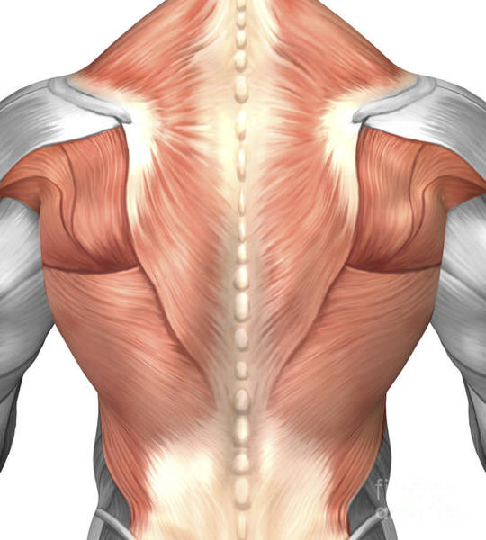 Muscle Tissue Digital Art - Male Muscle Anatomy Of The Human Back by Stocktrek Images