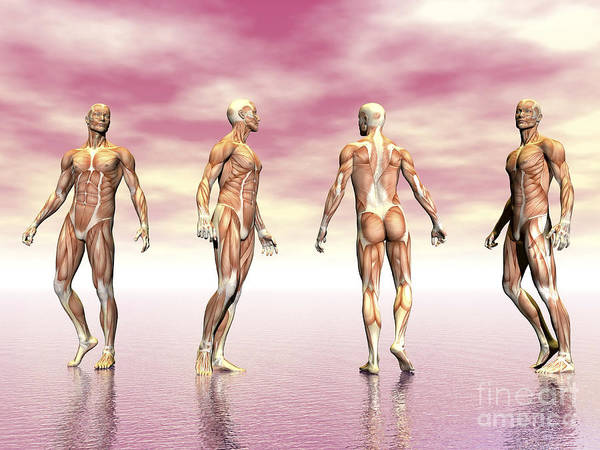 Muscle Tissue Digital Art - Male Muscular System From Four Points by Elena Duvernay