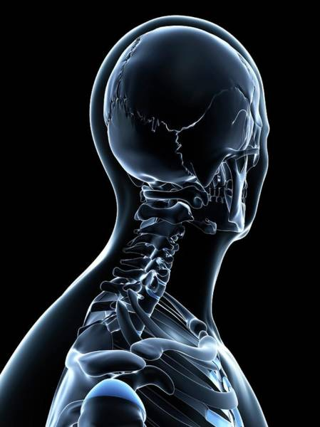 Normal Wall Art - Photograph - Male Neck Bones by Sciepro/science Photo Library