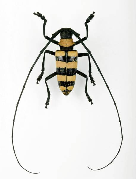 Flores Photograph - Male Nemophas Longhorn Beetle by Pascal Goetgheluck/science Photo Library