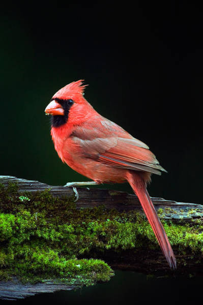 Mossy Photograph - Male Northern Cardinal Cardinalis by Panoramic Images