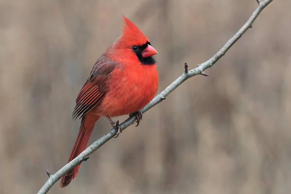 Northern Cardinal Photograph - Male Northern Cardinal In Winter by Adam Jones