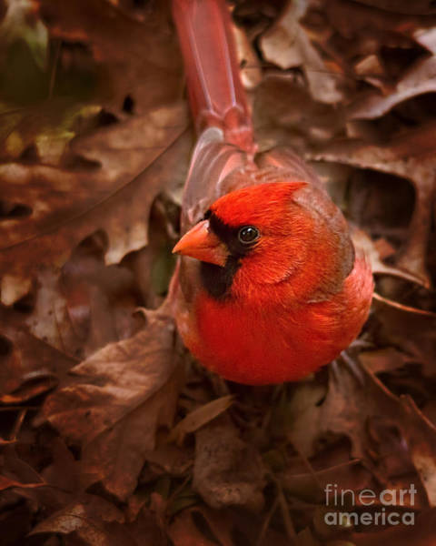 Photograph - Male Northern Cardinal by Jemmy Archer