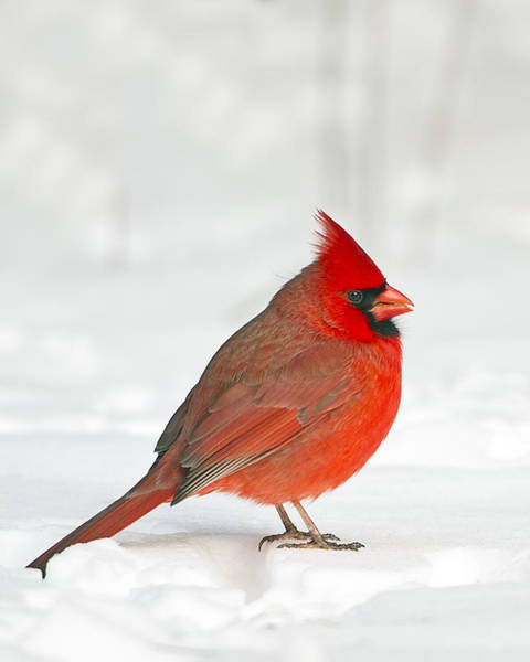 Photograph - Male Northern Cardinal by John Vose