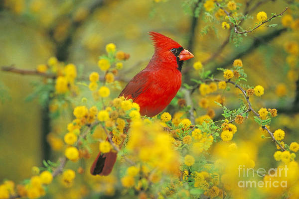 Photograph - Male Northern Cardinal by Thomas and Pat Leeson