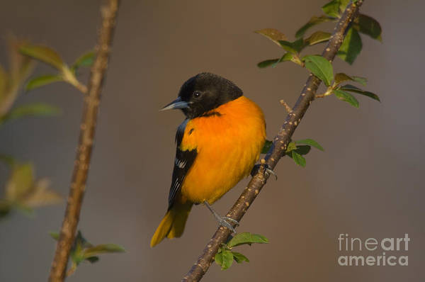 Photograph - Male Northern Oriole by Thomas and Pat Leeson