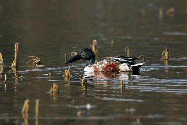Wall Art - Photograph - Male Northern Shoveler by Photostock-israel/science Photo Library