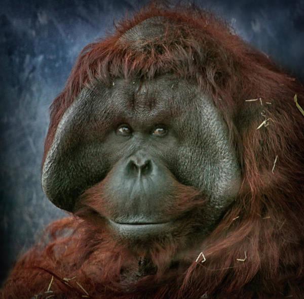 Orangutan Photograph - Male Orangutan by Wendy Salisbury Photography
