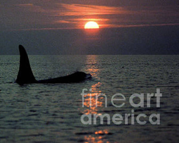 Photograph - Male Orca At Sunset Off San Juan Island Washington 1986 by California Views Archives Mr Pat Hathaway Archives
