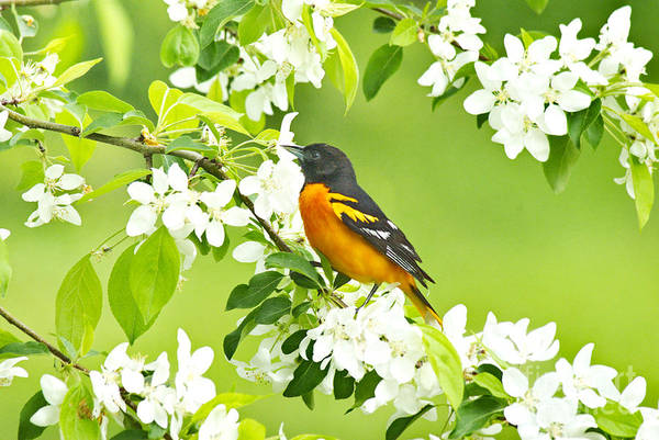 Photograph - Male Oriole On Apple Tree by Andrea Kollo